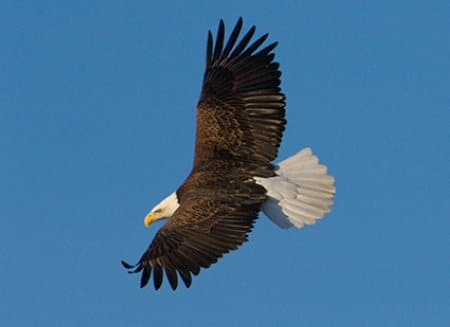 Bald Eagle Soaring above Mississippi River
