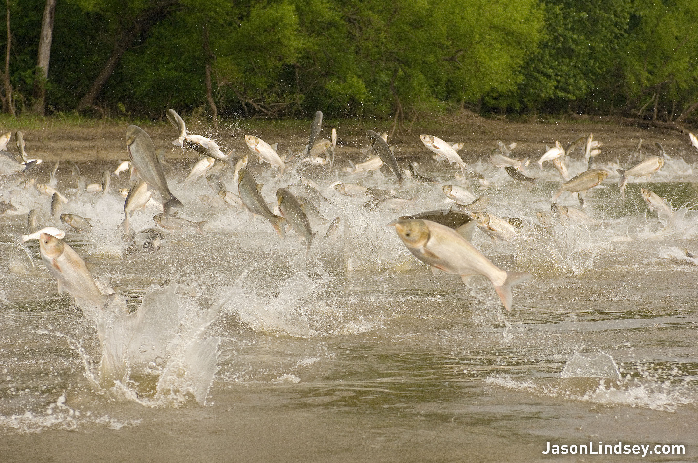 Asian carp invading the great lakes for Illinois river fishing