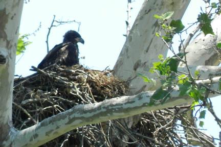 Baby Eagle, photo credit: Chris Main