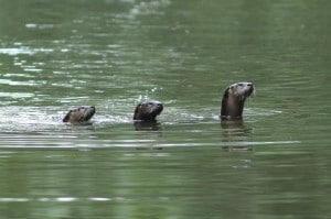 River Otter Pups on Middle Fork River