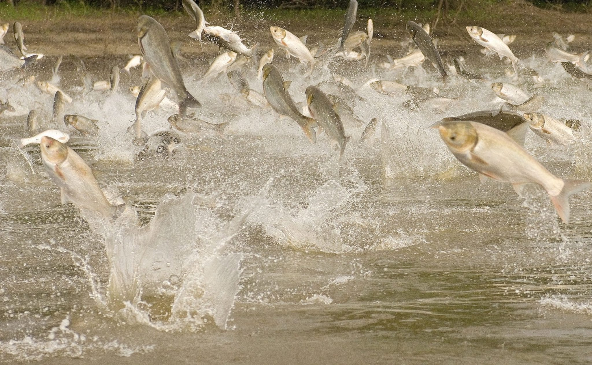 Invasive Species: Aquatic Species - Asian Carp