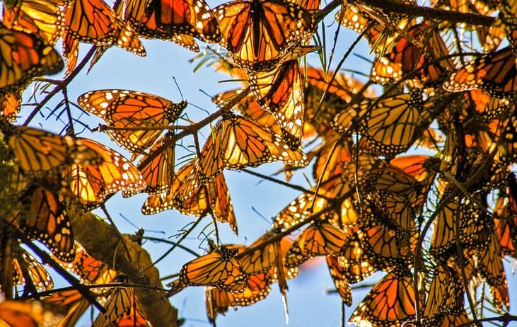 monarch butterflies tree credit Allison M. Jones
