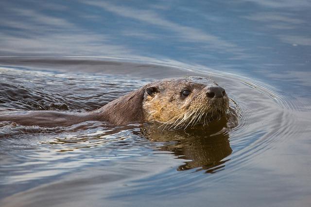 river-otter-1062574_640